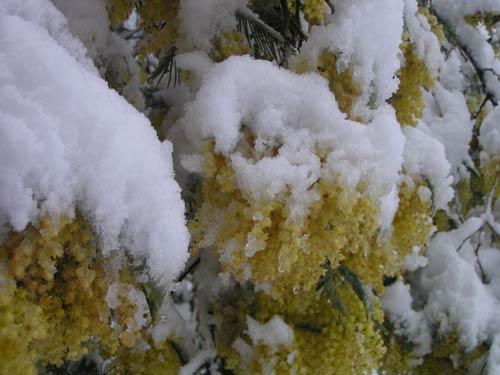 mimosas-neige1.jpg