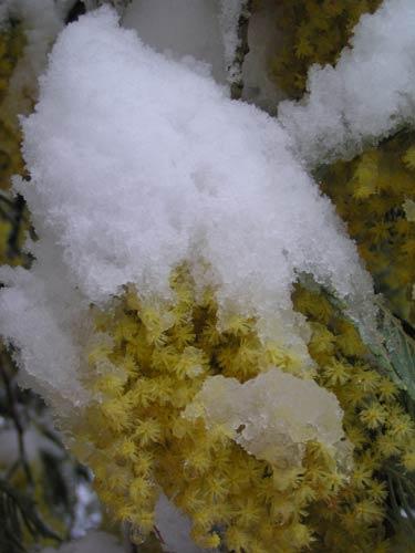 mimosas-neige3.jpg