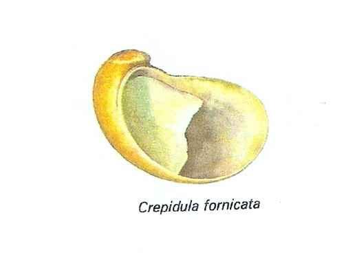 crepidule.jpg