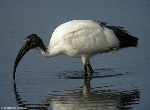 ibis-indesirable.jpg