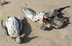 macareux morts plage de la Cantine 7février 2014